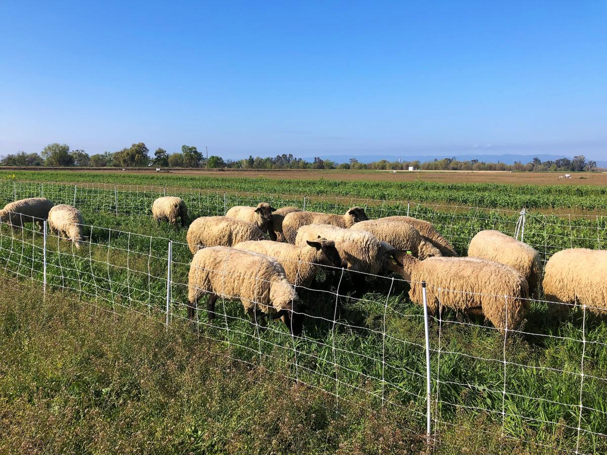 Sheep graze on winter cover crop at Russell Ranch